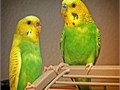 Hi have for sale young green parakeets interested email Zazuetaz1yahoocom 15 each