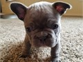 Dunsmuir Healthy Frenchies Available Contact thru TEXT 707 247-8078 OR go to