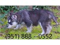 Adorable Siberian Husky Pups For SaleI have four purebred black and white male and females Siber