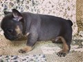 Teacup French bulldog Puppies for adoptionThey are very healthy and have all heath papers Great