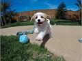Male Cavachon Puppy!!!