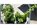 Plectranthus Purpuratus 1 gallon powerfully aromatic source of menthol chief ingredient in Vicks Va
