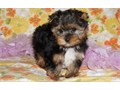 CINE Yorkshire Terrier Puppies for sale -  text us at804 592 0091- For more info and pics text