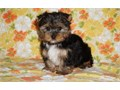 KELE Yorkshire Terrier Puppies for sale -  text us at804 592 0091- For mor
