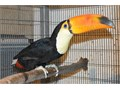 Beautiful and Lovely male and female Toucans and Touracos ParrotsHand-reared Toucans and Touracos