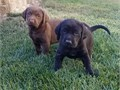 Two Male AKC Labrador Retriever Pups  1200 for Chocolate 1000 for Black  Beautiful Family or Hu