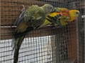 Newly unrelated pair of Yellow Opaline red rumps24000  pairpicture of the pair