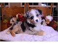 Cute Australian Shepherd Puppies now available come with shots and play toys please call or text 76