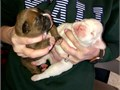 Beautiful AKC  boxer puppies born on 12419 Litter of 8 and only to are left  they wont last lon