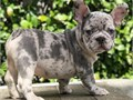 Merle french bulldog available ready for a new home Very good with other pets and kids Vet checked
