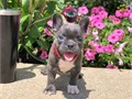 Beautiful French Bull Dog Puppies AvailableFor more information and updated pictures textsCalls on