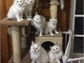 Available Ragdoll for adoption They have been checked by our Vet fully litter trained and free fro
