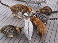 Kittens available to go to their forever homes These kittens are as bengals should beFull of l