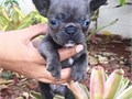 Shast Healthy Frenchies Available Contact thru TEXT 707 247-8078