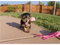 Puppys name CamiBreed Yorkshire TerrierAge 14 weeks old Registry AKCEstimated adult wei