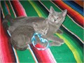British Shorthair kittens -  1 female blue and 1 male blue-silver looking for a good home  Th