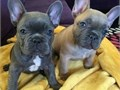AKC Mini French BulldogsMFs10wks Shots UTD with papersFor instant feedbackTextCall 805 918-0