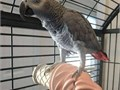 African grey parrots ready they are very playful and friendly with childrenTextcall at 561-377-