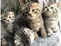 Tica Scottish Fold Kittens  Kittens very playful and friendlyBefore they go kittens will be wormed
