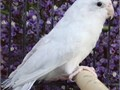 -White Parrotlet- We Ship Safely Nationwide We use a patented safety travel box thats climate cont