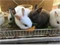 Netherland dwarf bunniesGorgeousready to goplease call   Joe    818-426-3036