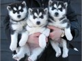 Three siberian husky pupsVet exams dewormed and first vaccines State Health C