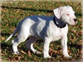 Dogo Argentino Puppies They are 11 weeks old and have had first shots and have also been dewormed