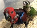 Hand fed tame baby males and female Solomon island Eclectus This phone number is a land line Leave