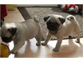We have the smallest and cutest Pug puppies All our pups are current with their vaccines and deworm