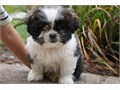 Cnik Shih Tzu Puppies for sale -  text us at804 592 0091- For more info and pics text us at