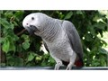 DNA African Grey ParrotsVery well socialized with adults and childrenIf you have any questions pl