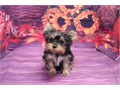 Breed Yorkshire TerrierNickname BibiDOB June 20 2019Sex FemaleApprox Size at