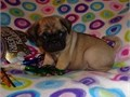 Pug Puppies available For more details an pics get back to us via 786 492-5563