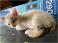 Beautiful RagdollSnowshoe mix female Kitten DOB 43019 Zsa Zsa is white with a calico patterned