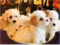 FIVE ADORABLES cute and cuddlefemales puppies are ready to go to their forever homeThey are like