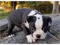 I have beautiful boston terrier for sale There looking for there forever homesText or call 650