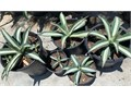 White Striped Agave