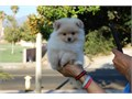 We have Two of the Most Gorgeous Micro Pomeranian puppies that will weigh 3-35 pounds fully grownT