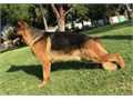 2 imported German Shepherd black and red  for stud  Available in Santa Ana