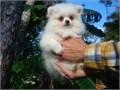 Pomeranians Pups MF 561 819-7376