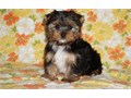 PLAY Yorkshire Terrier Puppies for sale -  text us at804 592 0091- For mor