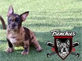 Fawn merle frenchbulldog 10 weeks old vaccines and dewormed full akc