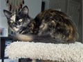 Sally is a beautiful long-haired tortie She is very sweet and cuddly  with a distinct purr-meow