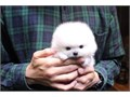Please read entire listing Adorable Fluffy AKC Teddy Bear Pomeranian puppies we have a variety of
