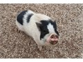 2 Female pot belly pigs available to great home  4 and 5 years old  Very friendly they crate and