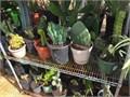 Choice Cactus
