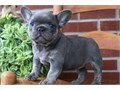 VREY French Bulldog Puppies for sale -  text us at804 592 0091- For more info and pics text us