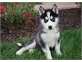 mocki is a 12 weeks old siberian husky ready to go t a new home actually we need a good loving home