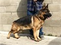 German Shepherd black and red  for stud 2 males Available 7149476139