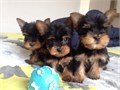 Yorkie Male and female Yorkie that have been not fixed Around 10weeks old and have had complete s